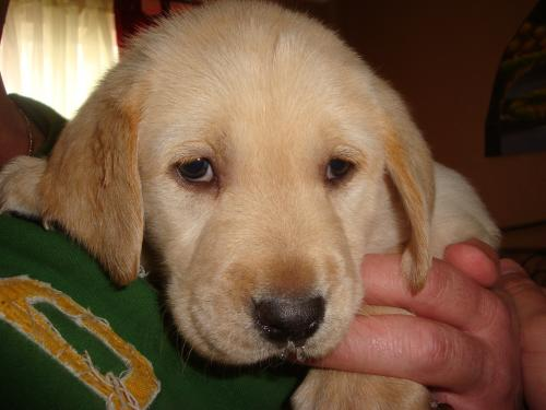 Yellow Lab Puppies For Sale | G C  Scheer Inspections and