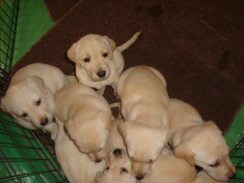 Yellow Lab Puppies For Sale Gc Scheer Inspections And Testing Llc